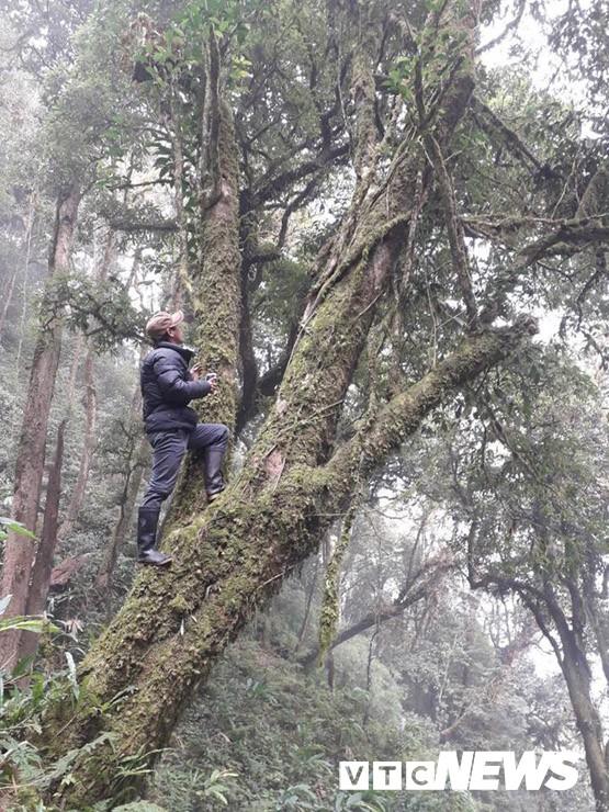 Choáng ngợp giữa khu rừng báu vật chè hoang dã ngàn năm tuổi ở Tây Côn Lĩnh - Ảnh 8.