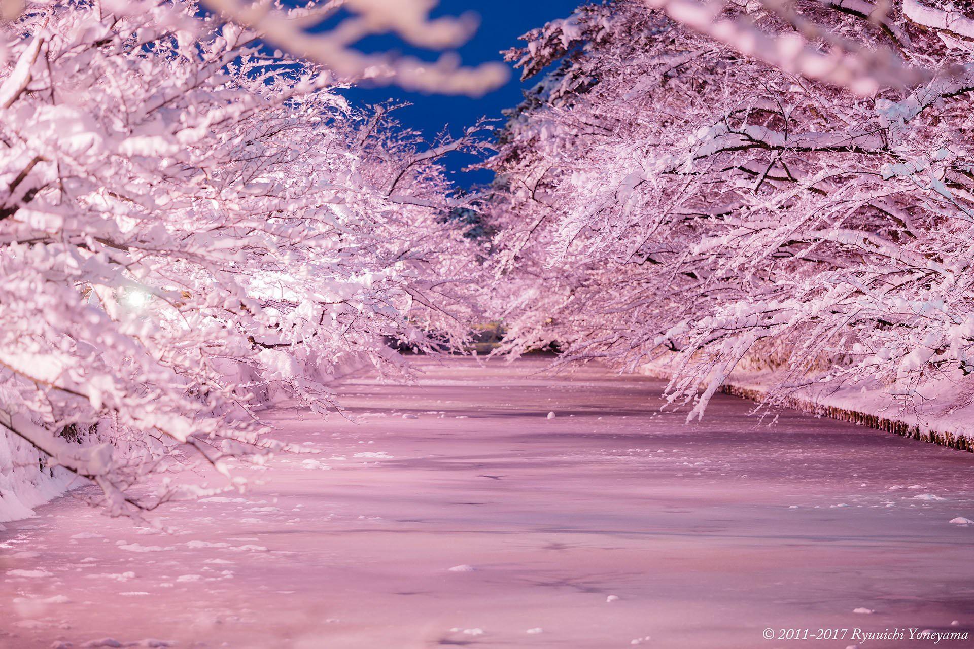 Người dân Nhật ngỡ ngàng chiêm ngưỡng những bông hoa anh đào băng tuyết trong thời tiết lạnh giá kéo dài - Ảnh 1.