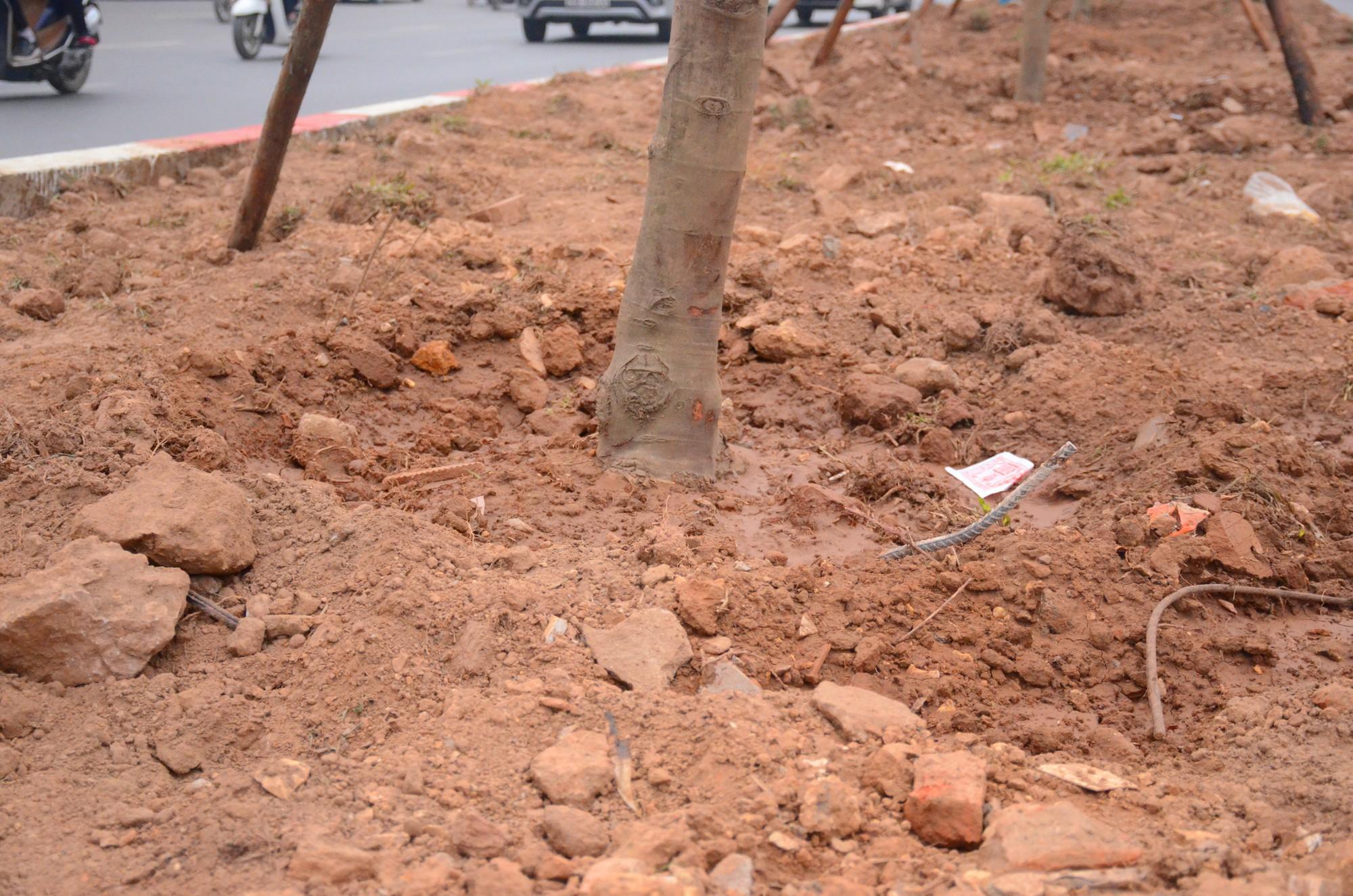 Chùm ảnh: Tận thấy hàng trăm cây phong lá đỏ mới được trồng trên phố Trần Duy Hưng ở Hà Nội - Ảnh 6.