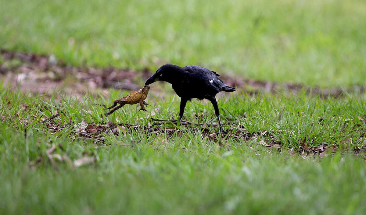 Bức ảnh này chứng minh quạ là loài chim thông minh nhất hành tinh - Ảnh 3.