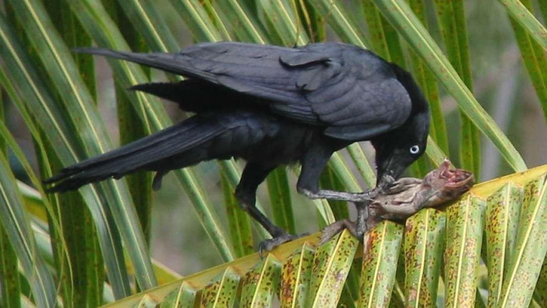Bức ảnh này chứng minh quạ là loài chim thông minh nhất hành tinh - Ảnh 2.