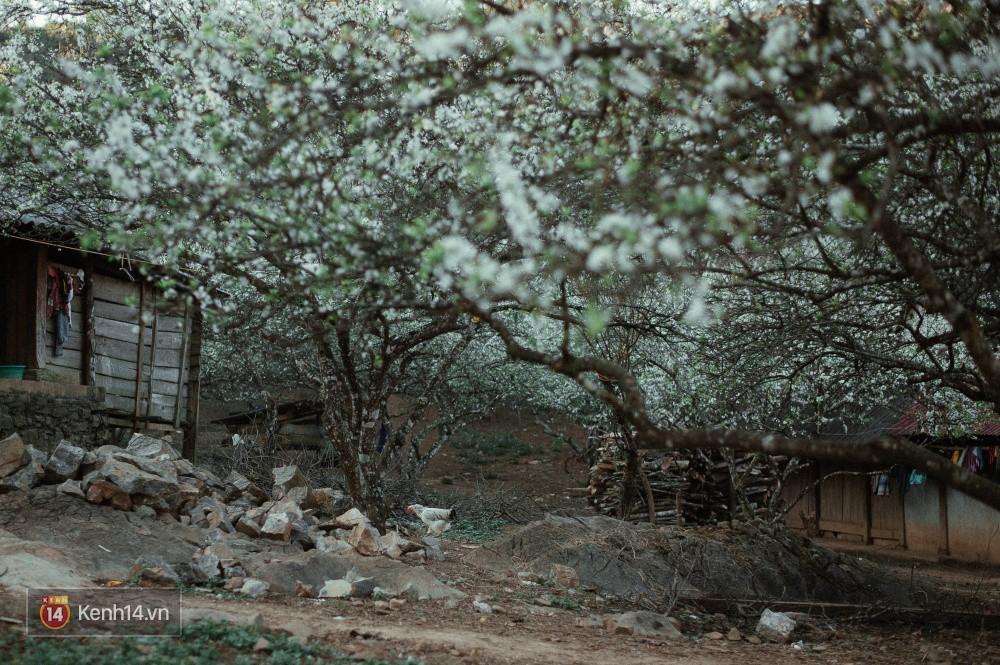 Những ngày cận Tết, hoa mận trắng nở rộ Mộc Châu đẹp đến mê mẩn - Ảnh 9.