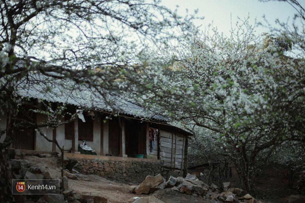 Những ngày cận Tết, hoa mận trắng nở rộ Mộc Châu đẹp đến mê mẩn - Ảnh 8.