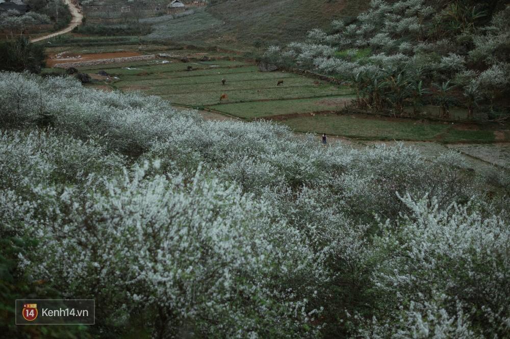 Những ngày cận Tết, hoa mận trắng nở rộ Mộc Châu đẹp đến mê mẩn - Ảnh 11.