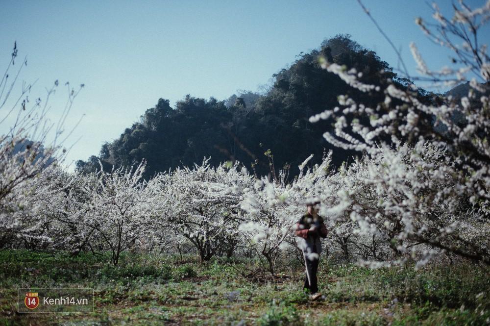 Những ngày cận Tết, hoa mận trắng nở rộ Mộc Châu đẹp đến mê mẩn - Ảnh 4.