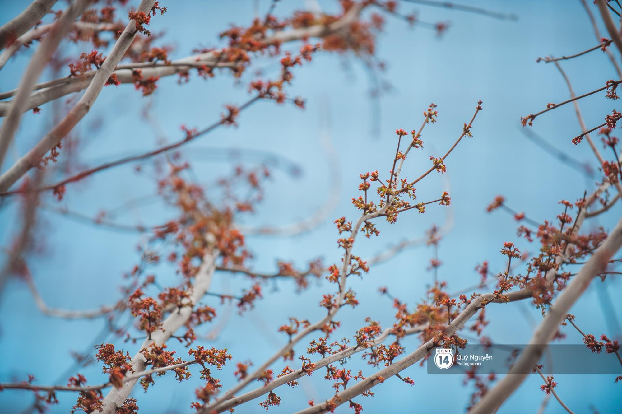 Hà Nội: Hàng cây phong lá đỏ từng được ví như những cành củi khô bắt đầu nảy lộc đúng dịp Tết - Ảnh 3.