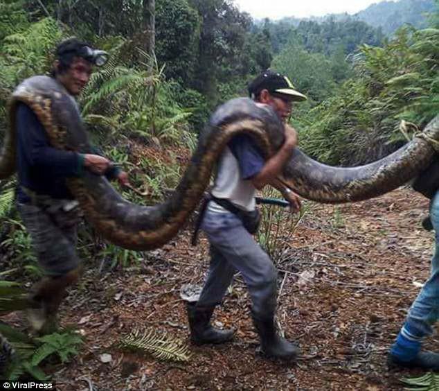 Phát hiện trăn khổng lồ 6m đang ân ái, dân địa phương bắt về làm thịt, xào lên chia cho cả làng - Ảnh 6.