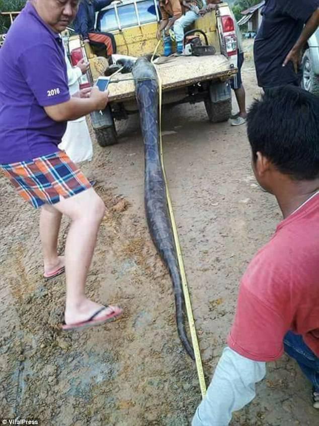 Phát hiện trăn khổng lồ 6m đang ân ái, dân địa phương bắt về làm thịt, xào lên chia cho cả làng - Ảnh 7.