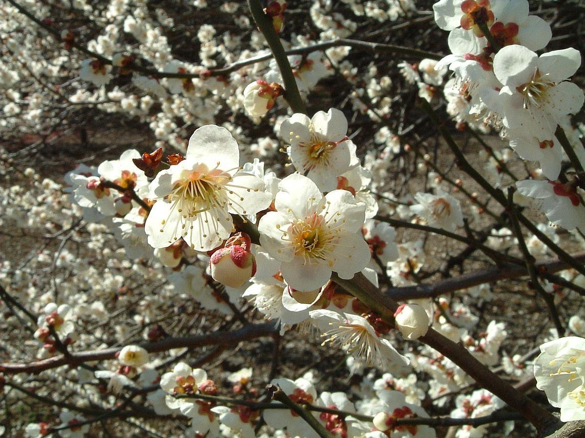 Tết Việt Nam thì không thể thiếu đào mai, còn người dân châu Á trưng hoa gì trong năm mới để có nhiều may mắn tài lộc? - Ảnh 5.