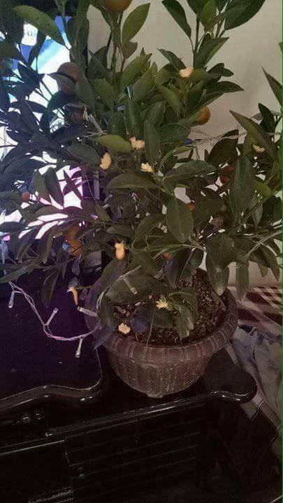 Nỗi lòng người bố mua cây quất đẹp chơi Tết, vừa kịp đăng Facebook khoe thì con gái vặt sạch quả - Ảnh 4.