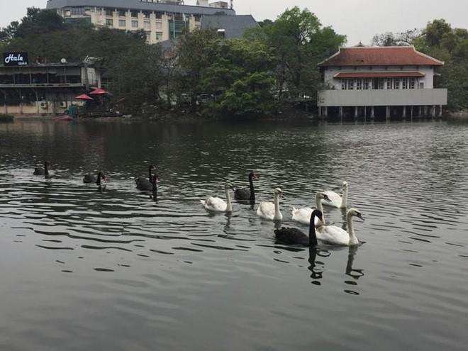 Chia 5 ca trực 24/24 để bảo vệ thiên nga ở hồ Thiền Quang suốt dịp nghỉ Tết - Ảnh 3.