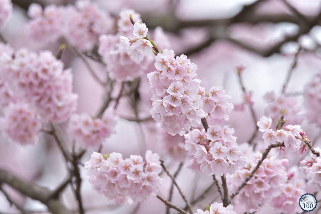 Xem tận mắt cây anh đào được chính phủ Nhật xếp vào hàng báu vật quốc gia - Ảnh 4.