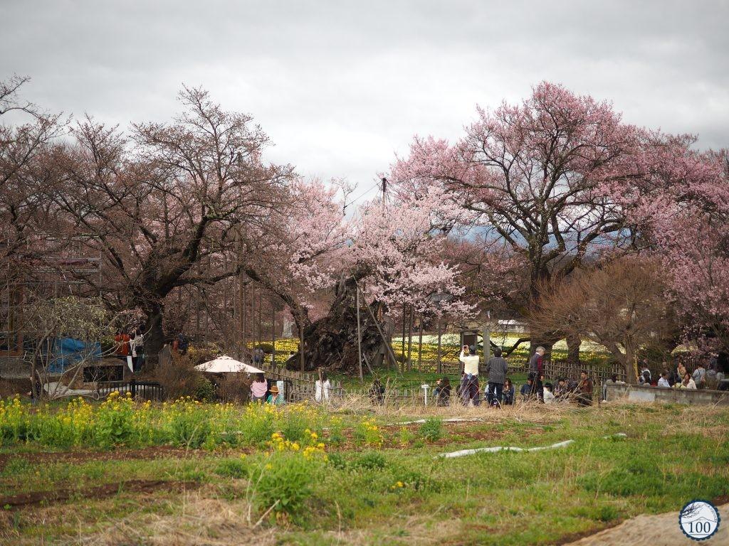 Xem tận mắt cây anh đào được chính phủ Nhật xếp vào hàng báu vật quốc gia - Ảnh 2.