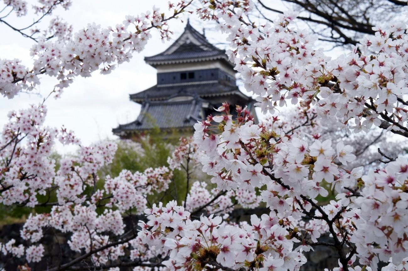 Nếu tưởng Sakura - hoa anh đào Nhật Bản chỉ có một loại thì bạn đã nhầm to rồi - Ảnh 4.