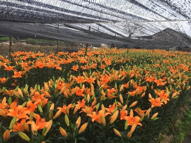 Hà Nội: Làng hoa Tây Tựu nở trái mùa, nông dân khóc ròng vì cắm nhà trả nợ - Ảnh 14.