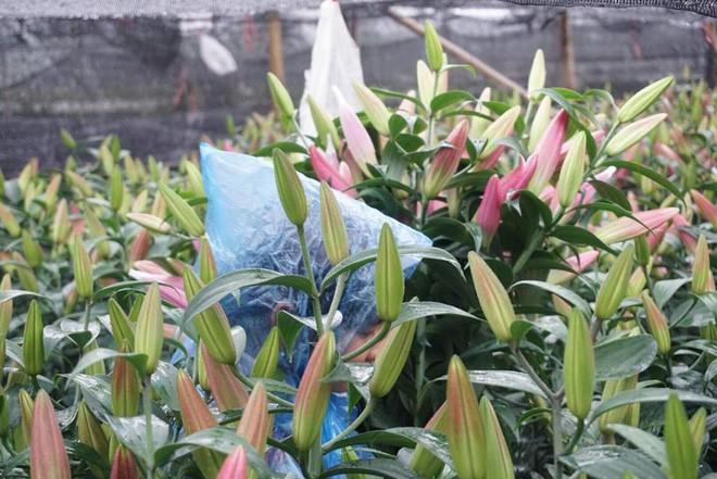 Hà Nội: Làng hoa Tây Tựu nở trái mùa, nông dân khóc ròng vì cắm nhà trả nợ - Ảnh 5.