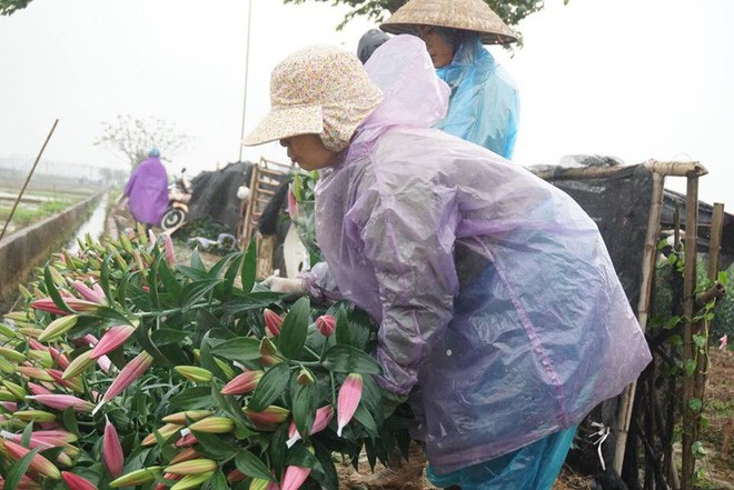 Hà Nội: Làng hoa Tây Tựu nở trái mùa, nông dân khóc ròng vì cắm nhà trả nợ - Ảnh 8.