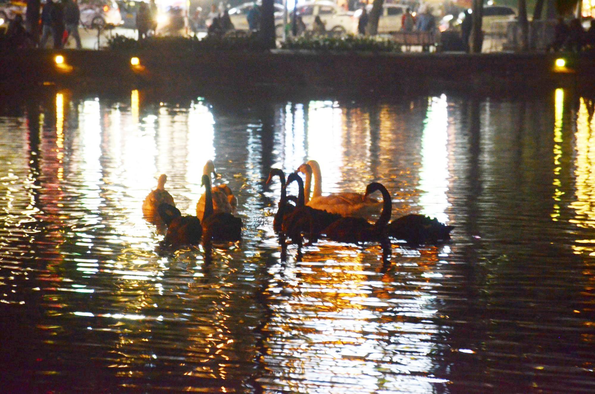 Việc thả thiên nga ở Hồ Gươm: Người thích thú đồng tình, người lại cho rằng chưa hợp lý - Ảnh 2.