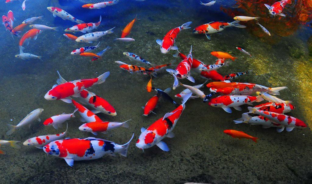 Năm nào cũng đi thả cá ngày Ông Táo, nhưng bạn đã biết những điểm đặc biệt này của cá chép chưa? - Ảnh 2.