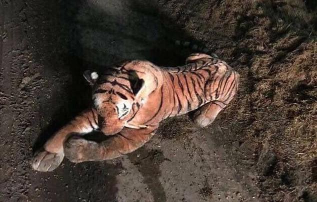 Nông dân phát hiện ra hổ trong chuồng bò, cảnh sát vũ trang ập tới nơi thì ngớ người khi thấy con hổ - Ảnh 1.