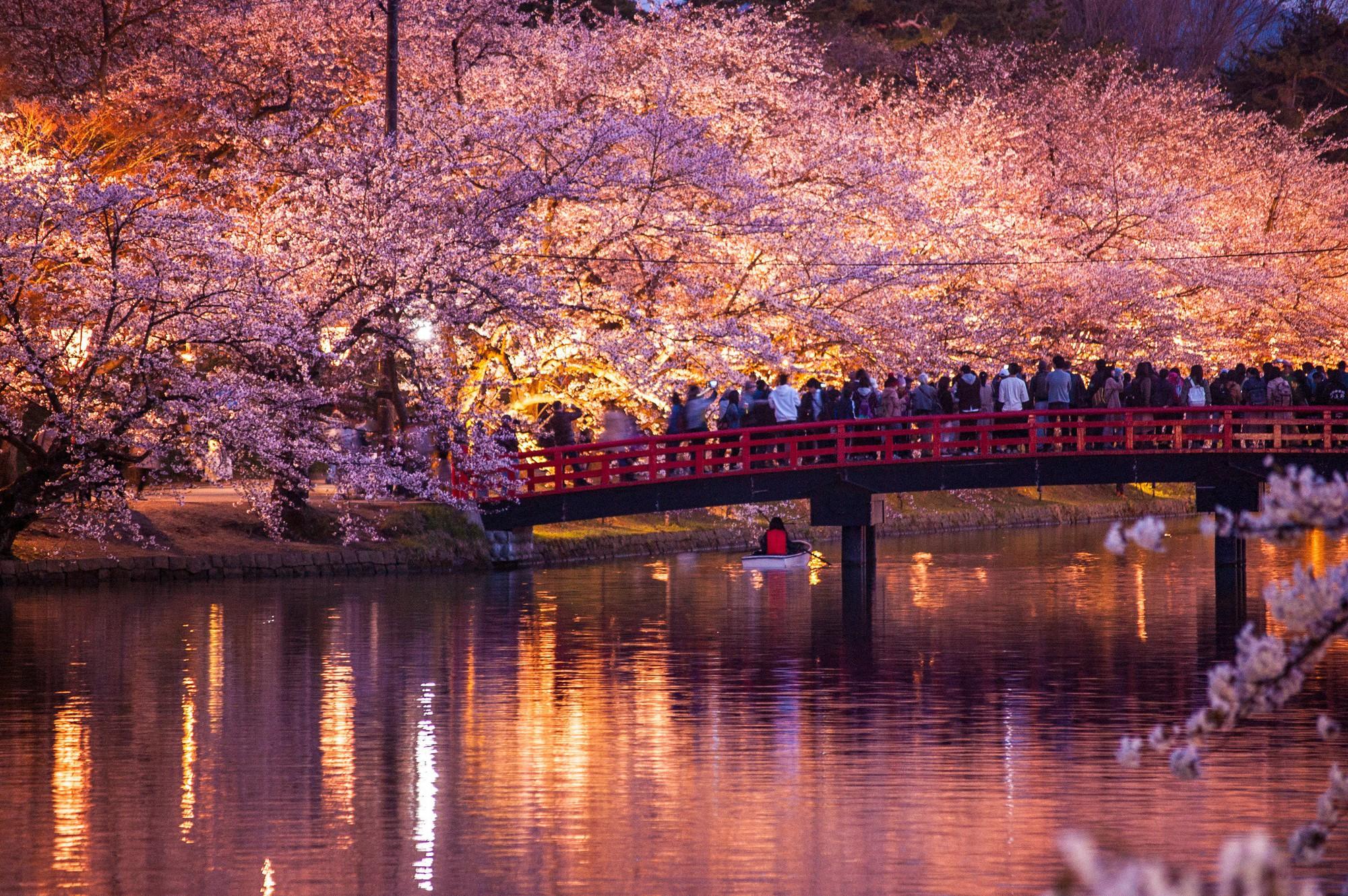Người dân Nhật ngỡ ngàng chiêm ngưỡng những bông hoa anh đào băng tuyết trong thời tiết lạnh giá kéo dài - Ảnh 6.