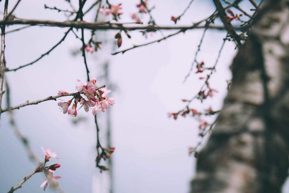 Lại phải đi Đà Lạt thôi vì hoa mai anh đào đã nhuộm hồng thành phố rồi! - Ảnh 6.