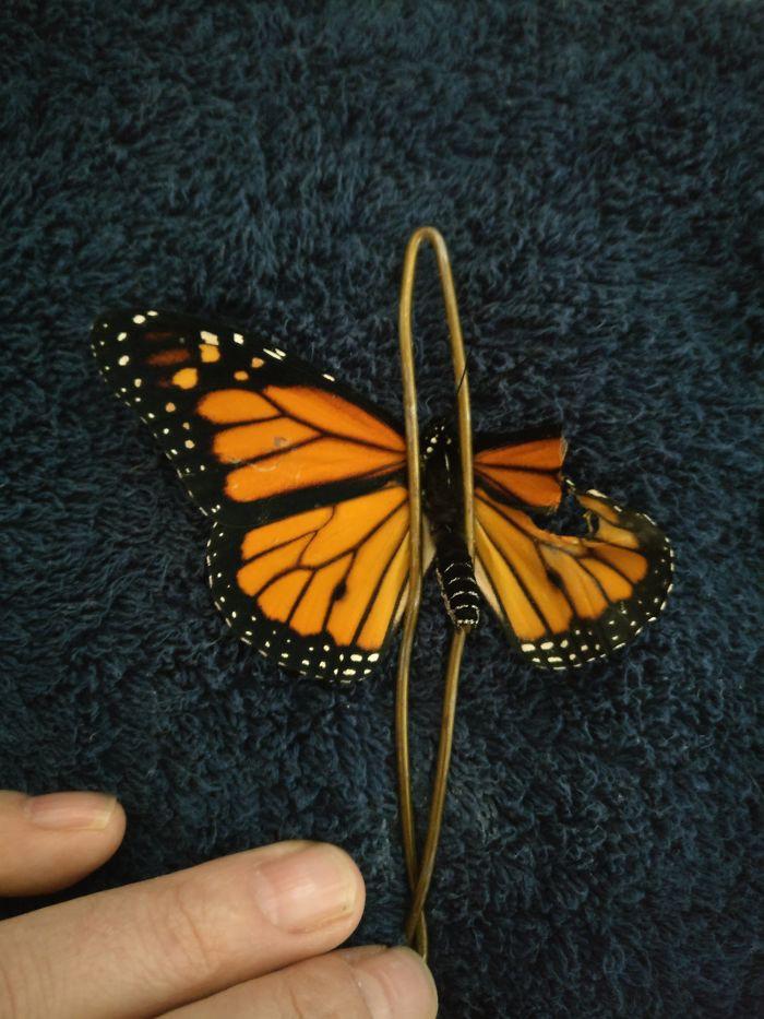 Chú bướm sắp chết vì rách cánh, chỉ với vật dụng có sẵn, người phụ nữ đã làm nên ca phẫu thuật kỳ diệu - Ảnh 3.