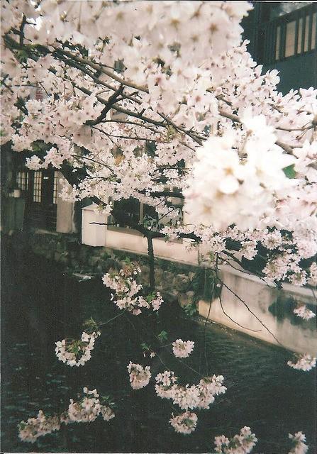 Cuộc sống, cái chết và sự tái sinh - triết lý gói gọn trong một đóa hoa Sakura - Ảnh 1.