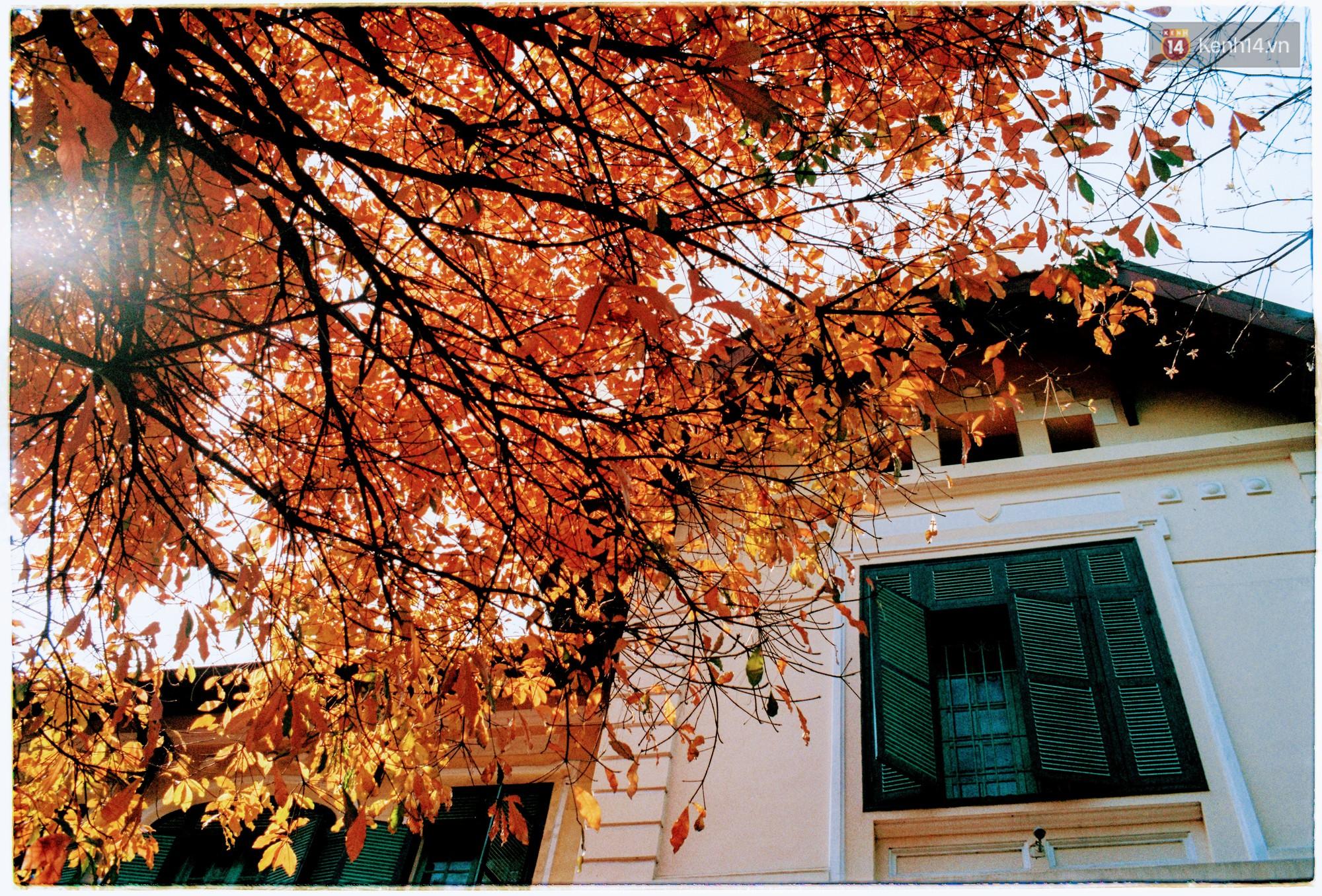 Hà Nội những ngày se lạnh, nắng đẹp và lá đỏ rợp góc phố -