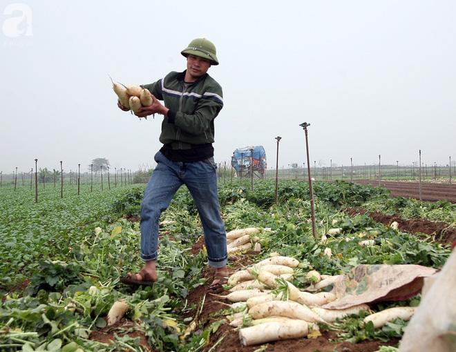 Hà Nội: Nông dân ngậm ngùi vứt bỏ hàng trăm tấn củ cải trắng vì không bán được - Ảnh 14.