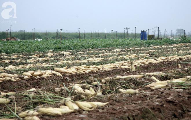 Hà Nội: Nông dân ngậm ngùi vứt bỏ hàng trăm tấn củ cải trắng vì không bán được - Ảnh 18.