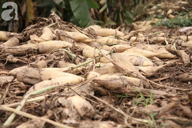 Hà Nội: Nông dân ngậm ngùi vứt bỏ hàng trăm tấn củ cải trắng vì không bán được - Ảnh 4.