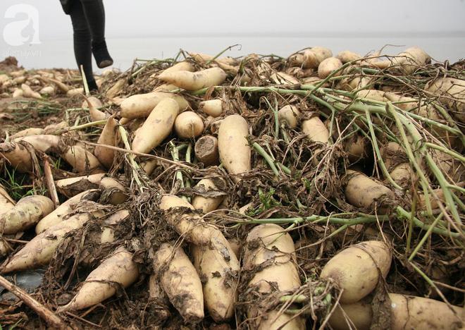 Hà Nội: Nông dân ngậm ngùi vứt bỏ hàng trăm tấn củ cải trắng vì không bán được - Ảnh 8.
