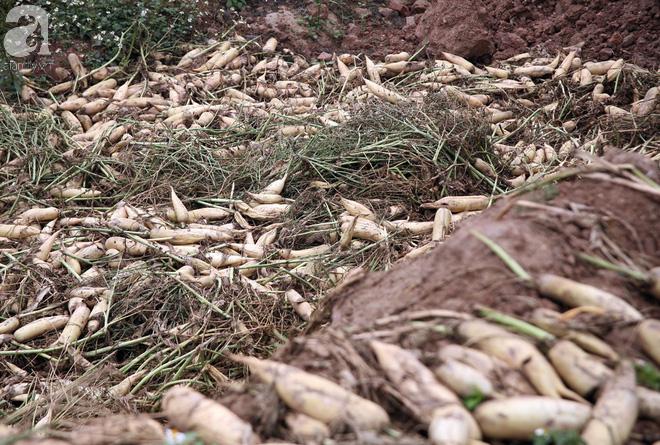 Hà Nội: Nông dân ngậm ngùi vứt bỏ hàng trăm tấn củ cải trắng vì không bán được - Ảnh 10.