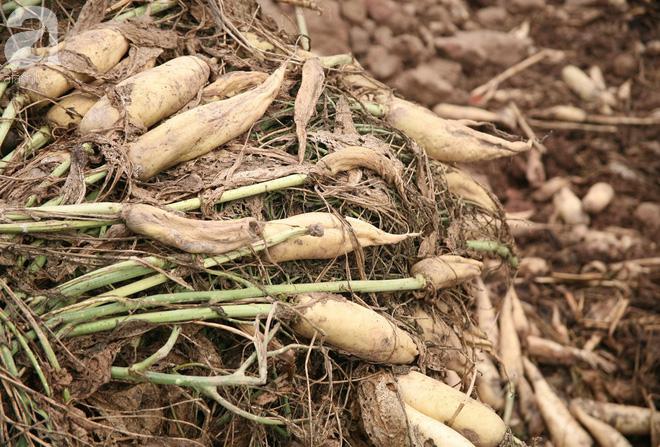 Hà Nội: Nông dân ngậm ngùi vứt bỏ hàng trăm tấn củ cải trắng vì không bán được - Ảnh 12.