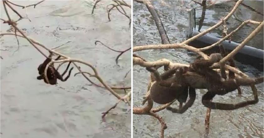 Lũ lụt tại Úc phơi bày cả nhện khổng lồ - cơn ác mộng của vô số người trên thế giới - Ảnh 1.