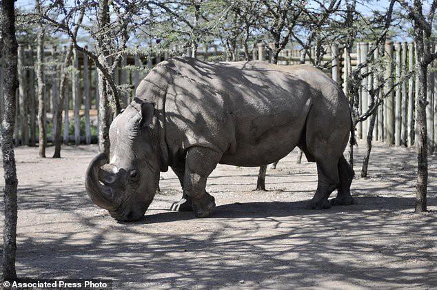 Chú tê giác trắng đực Bắc Phi cuối cùng trên thế giới qua đời - niềm hy vọng mong manh cuối cùng bị dập tắt - Ảnh 3.