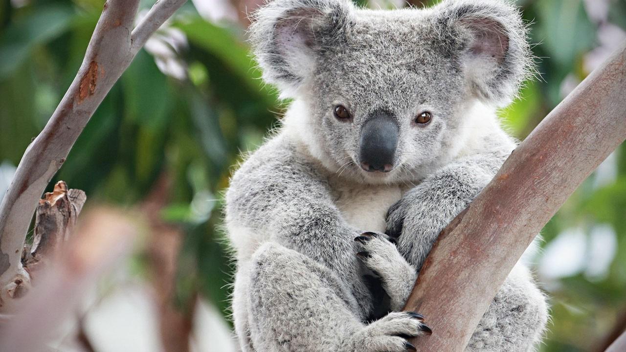 Gấu Koala vốn không hay uống nước nhưng giờ chúng thường xuyên làm, tất cả là vì... - Ảnh 2.