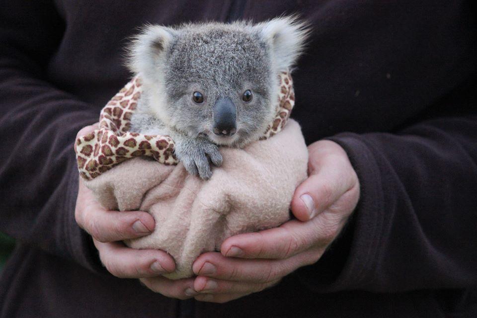 Gấu Koala vốn không hay uống nước nhưng giờ chúng thường xuyên làm, tất cả là vì... - Ảnh 5.