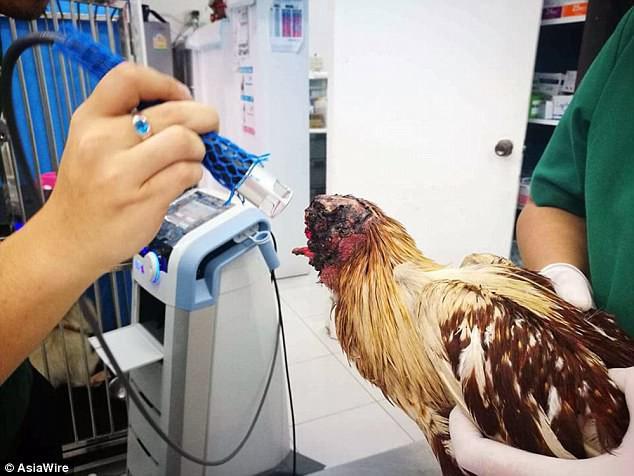 Chú gà bị chặt đầu một tuần vẫn sống, đi lại khỏe mạnh, người dân hiếu kỳ ùn ùn tới xem - Ảnh 2.