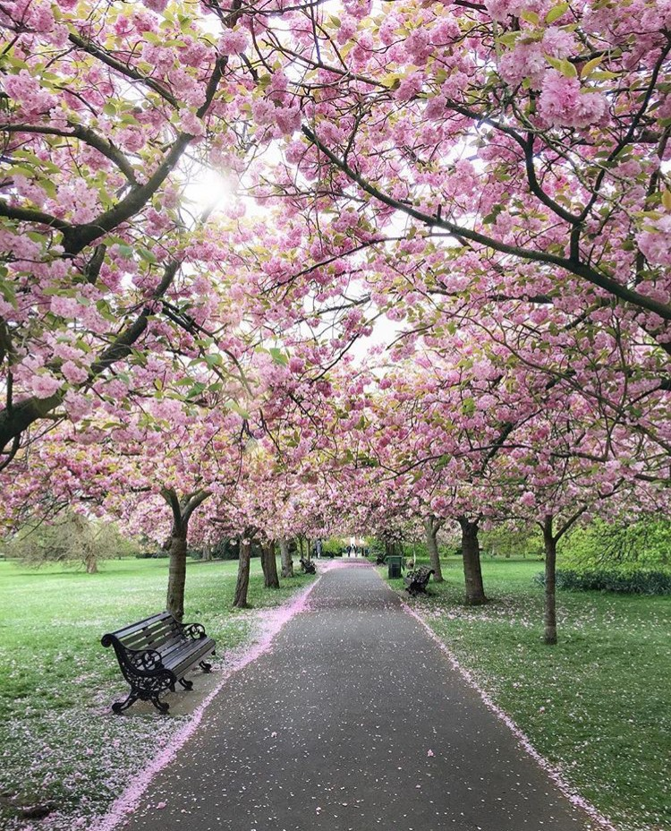Lướt Instagram từ Âu đến Á là biết mùa hoa anh đào tuyệt đẹp đã thực sự đến rồi! - Ảnh 32.