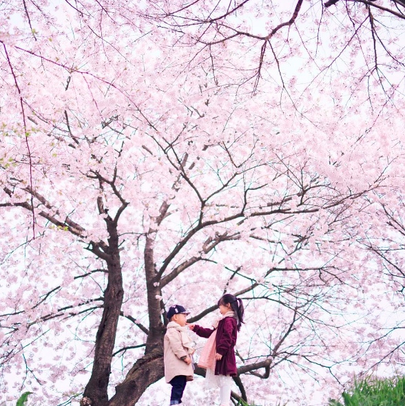 Lướt Instagram từ Âu đến Á là biết mùa hoa anh đào tuyệt đẹp đã thực sự đến rồi! - Ảnh 19.
