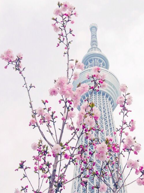 Lướt Instagram từ Âu đến Á là biết mùa hoa anh đào tuyệt đẹp đã thực sự đến rồi! - Ảnh 20.