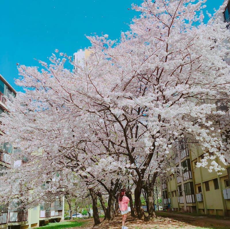 Lướt Instagram từ Âu đến Á là biết mùa hoa anh đào tuyệt đẹp đã thực sự đến rồi! - Ảnh 22.