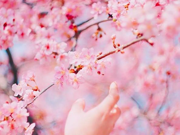 Lướt Instagram từ Âu đến Á là biết mùa hoa anh đào tuyệt đẹp đã thực sự đến rồi! - Ảnh 3.