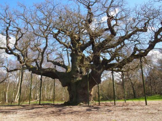 """Huyền thoại Robin Hood từng trốn trong cây sồi này, nhưng đó chỉ là một trong những bí mật về """"báu vật cổ thụ"""" nước Anh - Ảnh 5."""