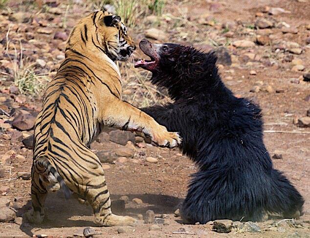 7 ngày qua ảnh: Kịch chiến hiếm thấy giữa gấu mẹ và hổ đực - Ảnh 2.