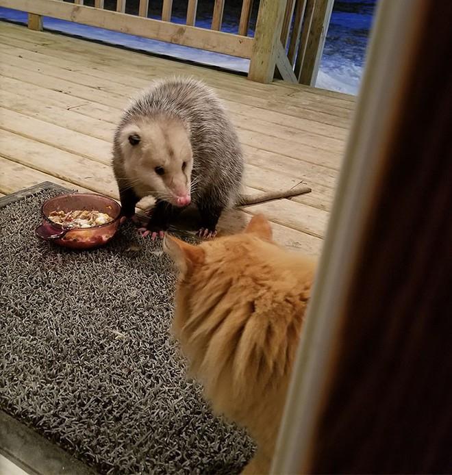 [Vui] Thêm một chú mèo nổi như cồn trên mạng vì phản ứng cực dễ thương khi bị cướp đồ ăn - Ảnh 1.
