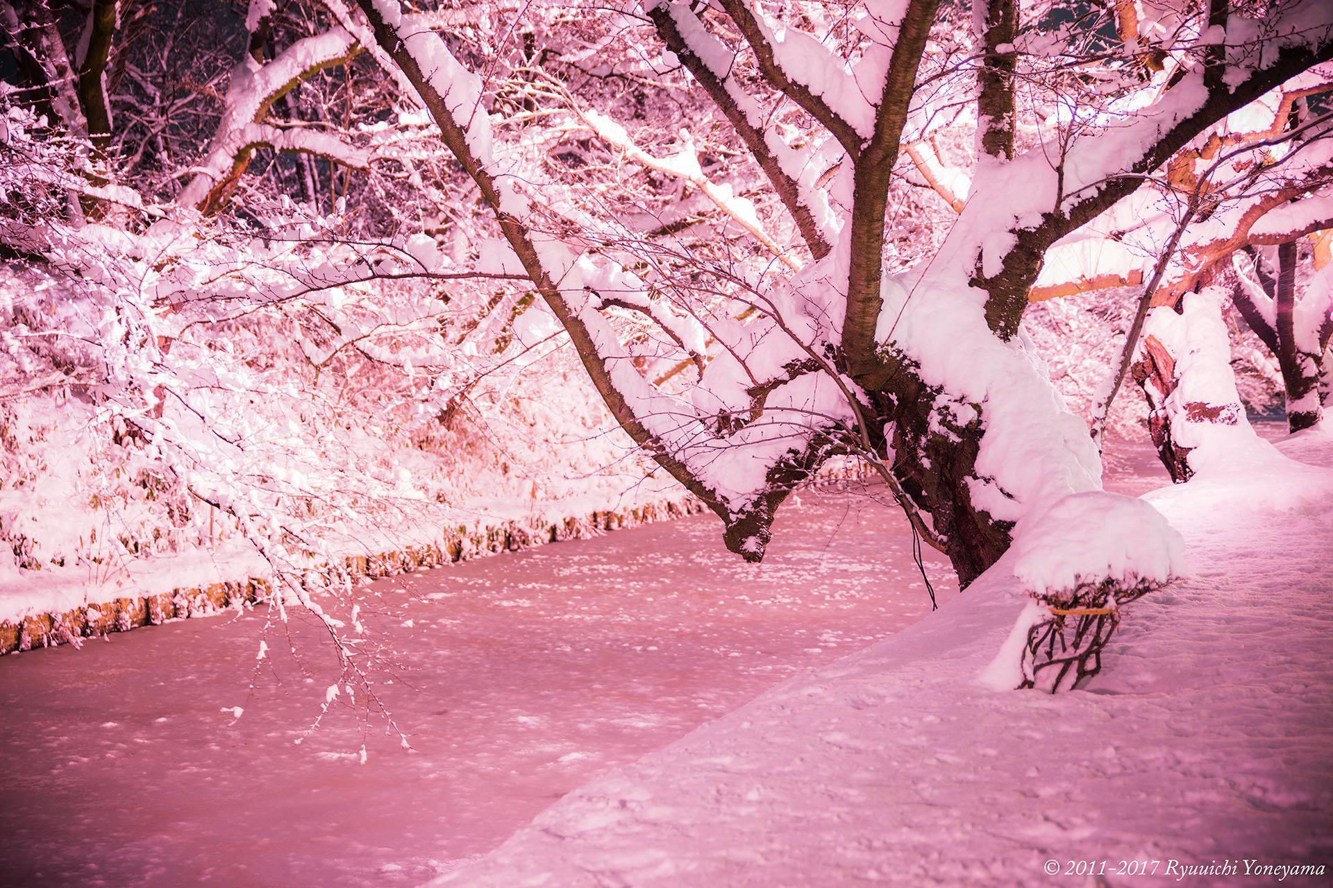 Người dân Nhật ngỡ ngàng chiêm ngưỡng những bông hoa anh đào băng tuyết trong thời tiết lạnh giá kéo dài - Ảnh 3.