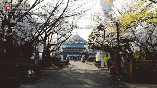 Mùa hoa anh đào ở Nhật Bản, cứ bước ra đường là góc nào cũng đẹp! - Ảnh 1.